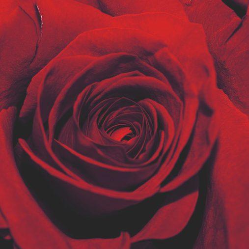 Rose_001_neu2
